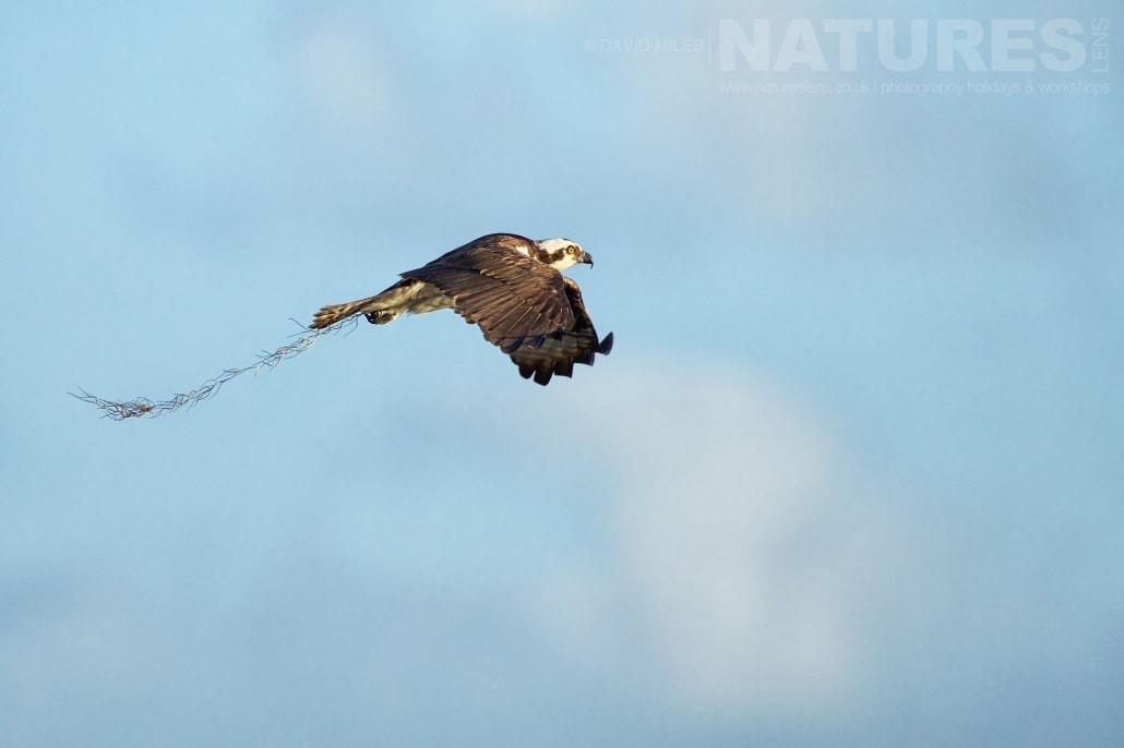 An Osprey Returns With Fresh Nesting Material To It's Nest Amongst The Cypress Trees Photographed On The NatureLens Ospreys Of Blue Cypress Lake Photography Holiday