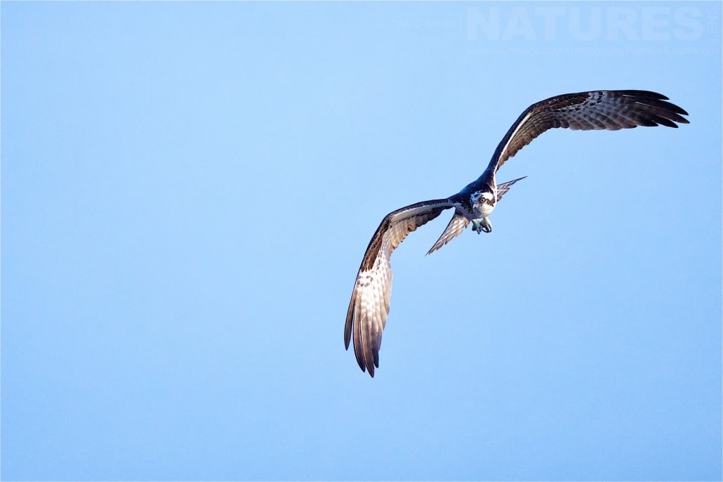 An Osprey Rides The Thermals Above Blue Cypress Lake Photographed On The NatureLens Ospreys Of Blue Cypress Lake Photography Holiday
