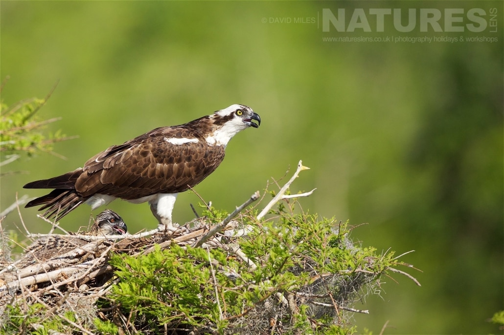 Fiercely Protective Of The Young In The Nest, One Of The Female Ospreys Warns Off Any Intruders Photographed On The NatureLens Ospreys Of Blue Cypress Lake Photography Holiday
