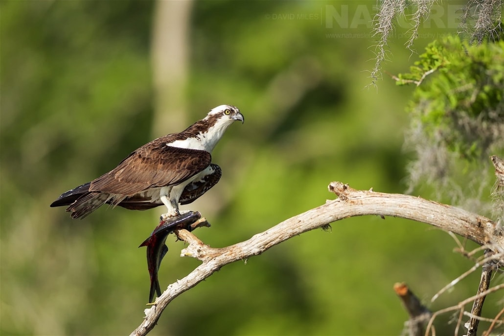 Following A Successful Fishing Expedition, One Of The Male Ospreys Removes The Head From It's Catch Photographed On The NatureLens Ospreys Of Blue Cypress Lake Photography Holiday