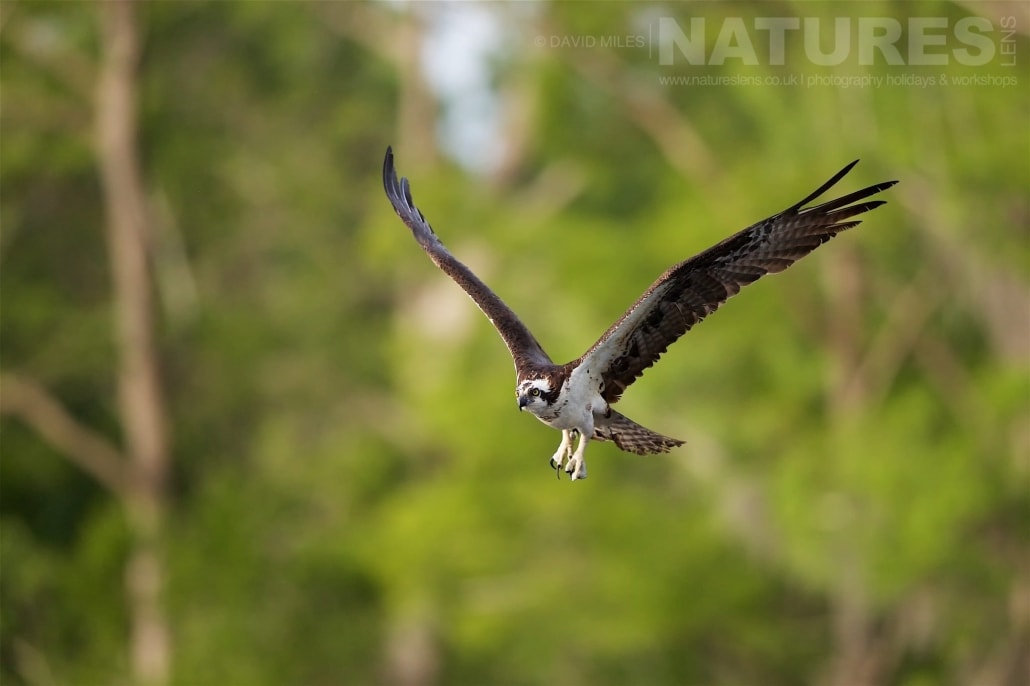 Having Just Left The Nest, An Osprey Flies Out To Catch A Fish On The Lake Photographed On The NatureLens Ospreys Of Blue Cypress Lake Photography Holiday