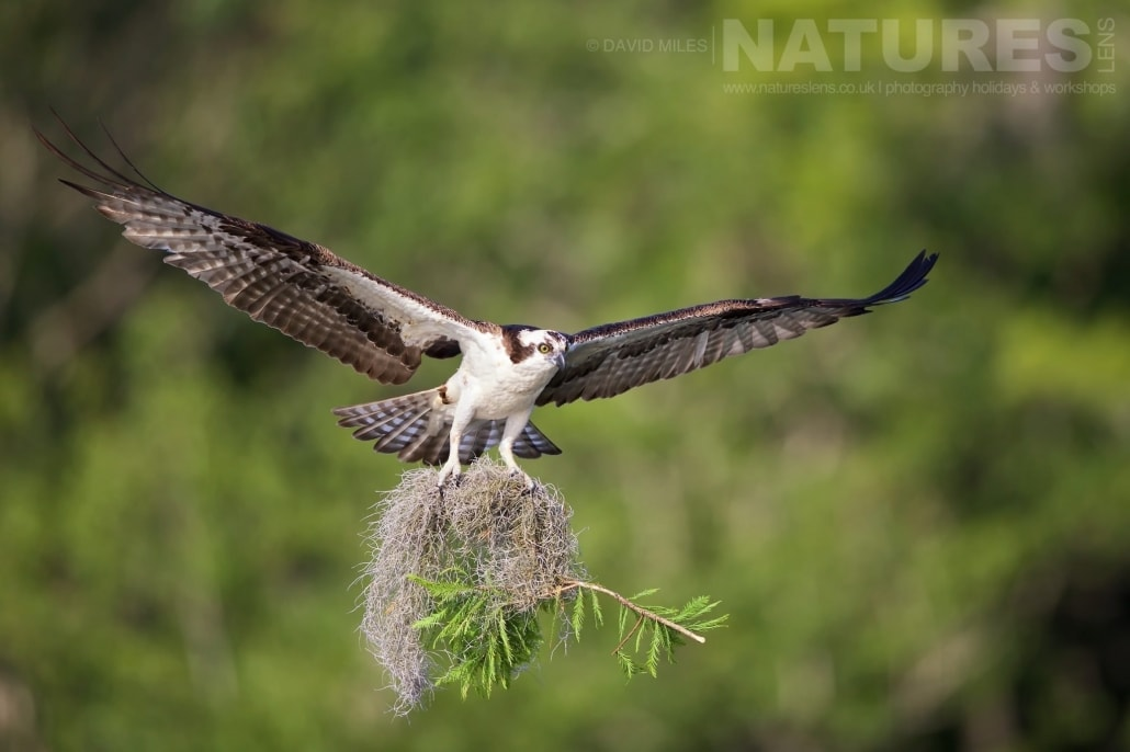 Talons Loaded With Fresh Nesting Material, An Returns To It's Nest Amongst The Cypress Trees Photographed On The NatureLens Ospreys Of Blue Cypress Lake Photography Holiday