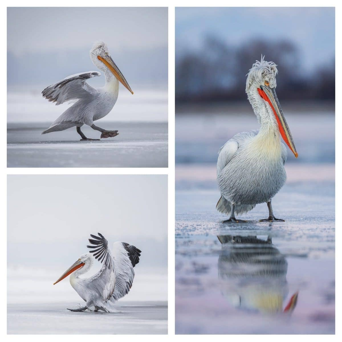 A trio of images of the fabulous Dalmatian Pelican - photographed on the 2017 photography holiday in Greece