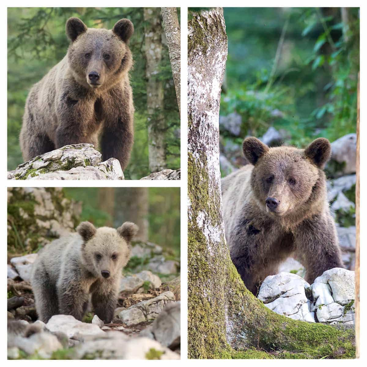 A trio of images of the fabulous European Brown Bears & their cubs - photographed on the NaturesLens Slovenian Bear Photography Holiday