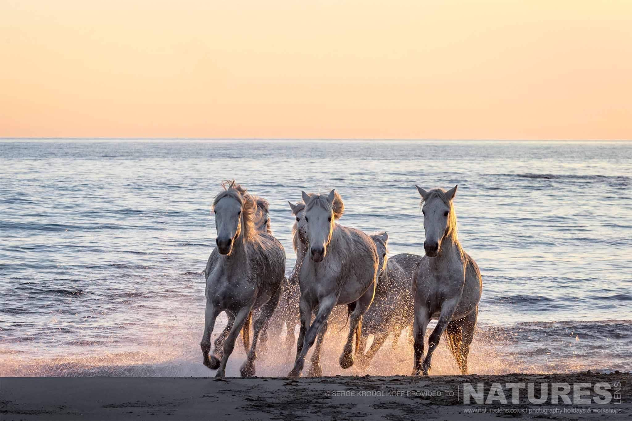 A Group Of The White Horses Of The Camargue Charges Through The Surf   Image Captured During A White Horses Of The Camargue Photography Holiday