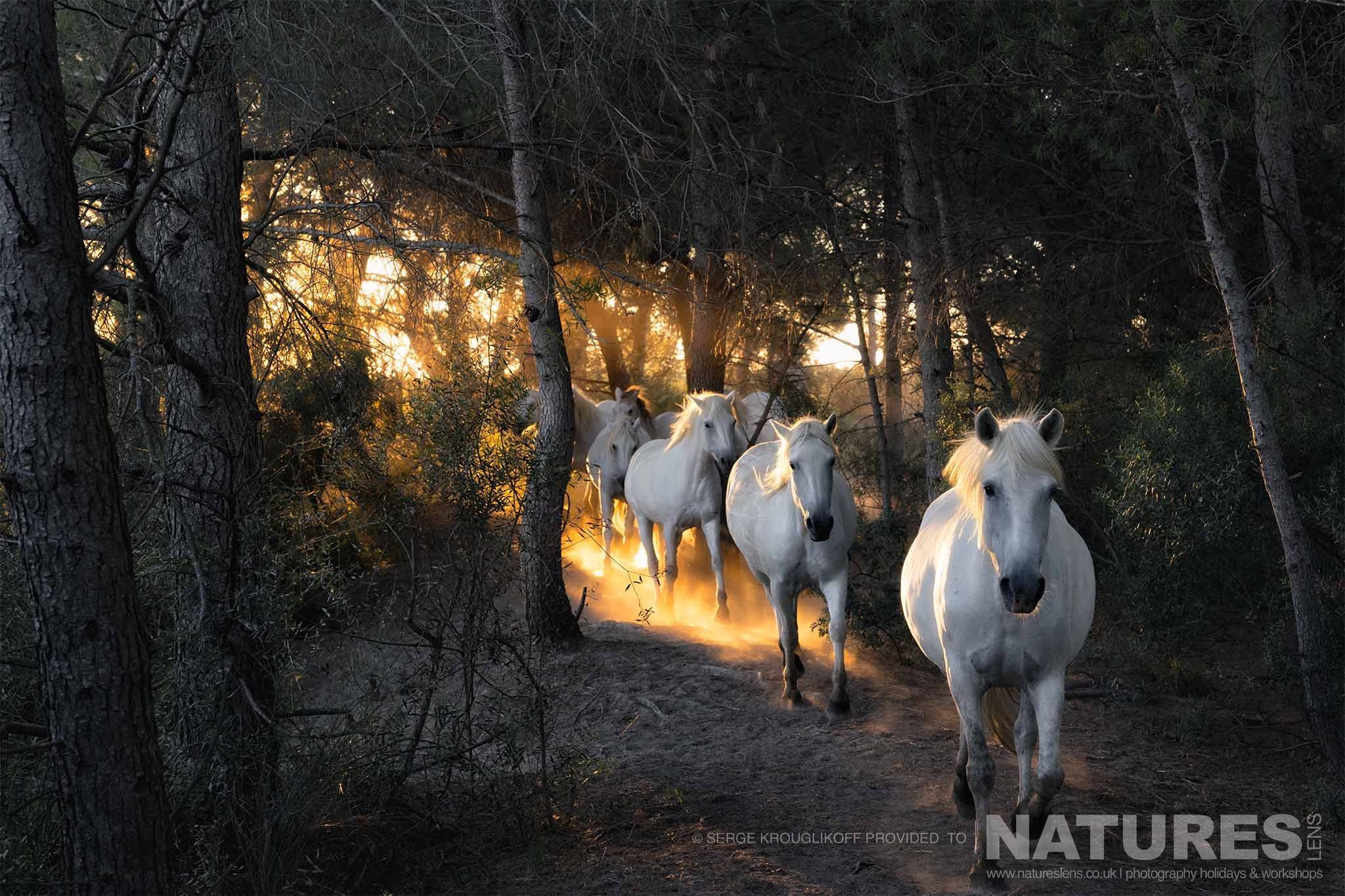 A Group Of The White Horses Of The Camargue Gallops Through Woodland   Image Captured During A White Horses Of The Camargue Photography Holiday