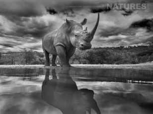 A low level image of a rhino, typical of those that may be captured at Zimanga Game Reserve during the NaturesLens African Wildlife of Zimanga Photography Holiday