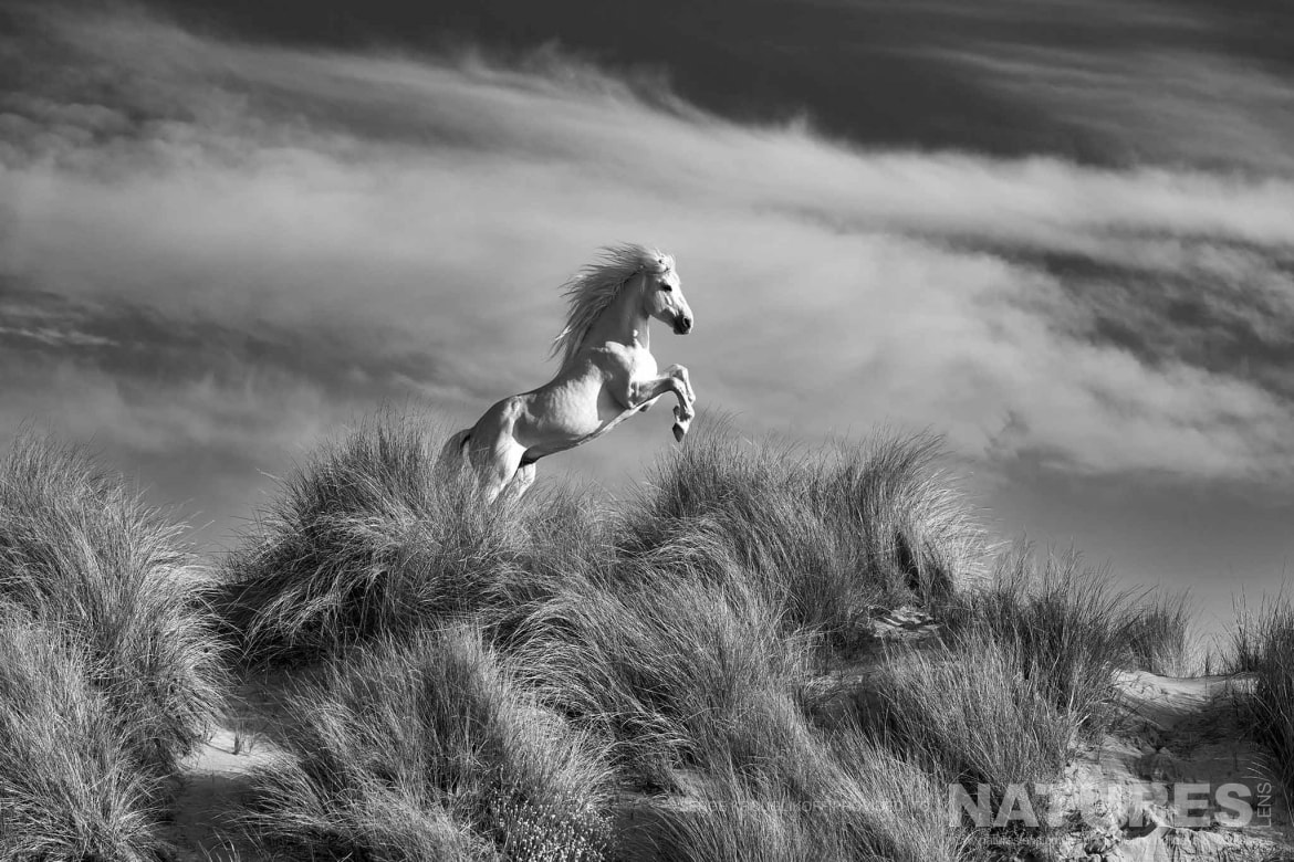 A Solo Horse Of The Camargue Gallops Through The Dunes Image Captured During A White Horses Of The Camargue Photography Holiday