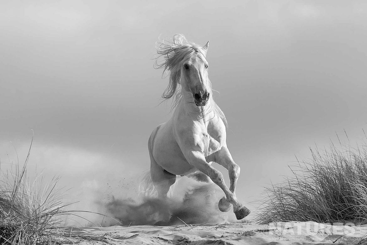 A Solo White Horse Of The Camargue Gallops Through The Dunes   Image Captured During A White Horses Of The Camargue Photography Holiday