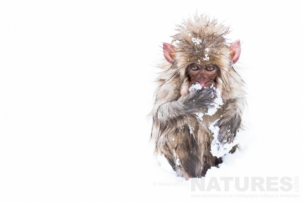 A young snow monkey of the Jigokudani Valley photographed on the NaturesLens Japanese Winter Wildlife Photography Holiday