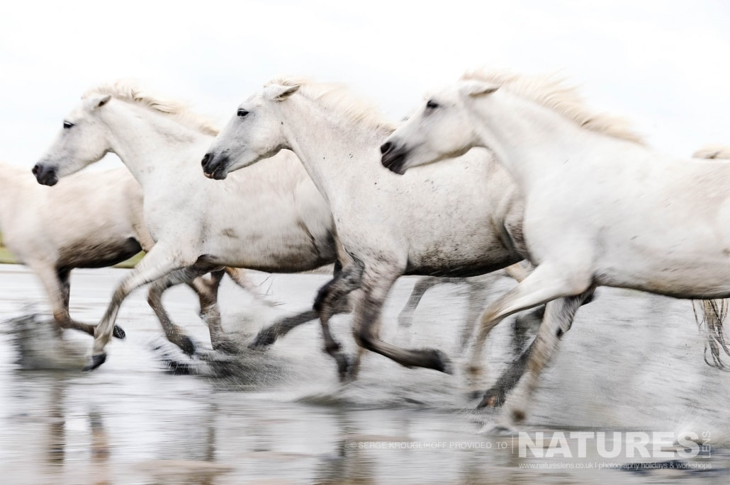Image typical of those that may be captured on the NaturesLens White Horses of the Camargue Photography Holiday (10 of 13)