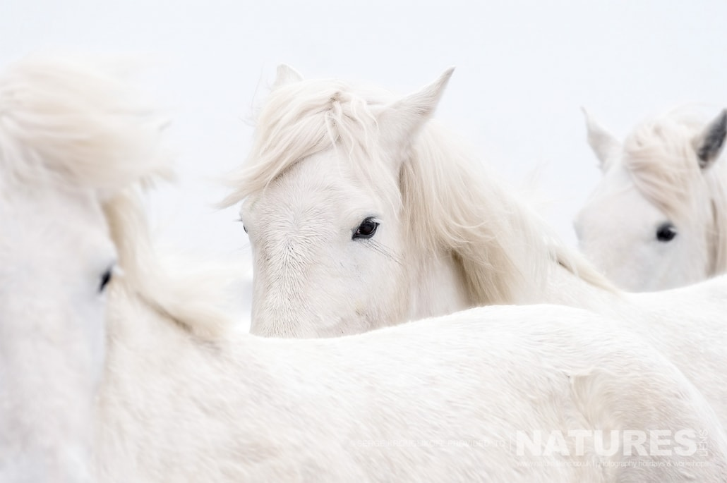 Image typical of those that may be captured on the NaturesLens White Horses of the Camargue Photography Holiday (6 of 13)
