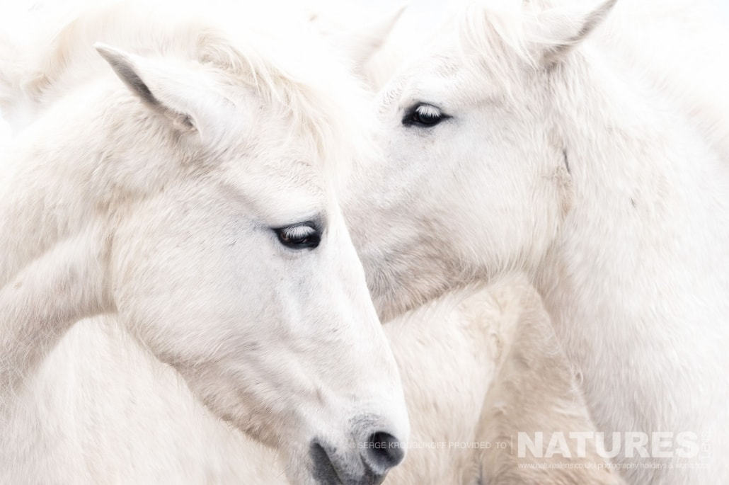 Image typical of those that may be captured on the NaturesLens White Horses of the Camargue Photography Holiday (7 of 13)