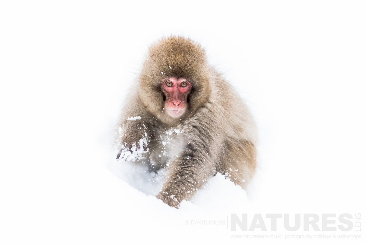 One of the juvenile snow monkeys of the Jigokudani Valley photographed on the NaturesLens Japan in Winter Photography Holiday