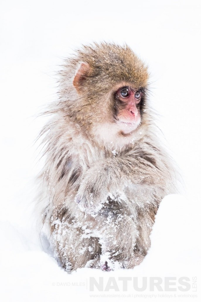 One of the young snow monkeys of the Jigokudani Valley photographed on the NaturesLens Japanese Winter Wildlife Photography Holiday