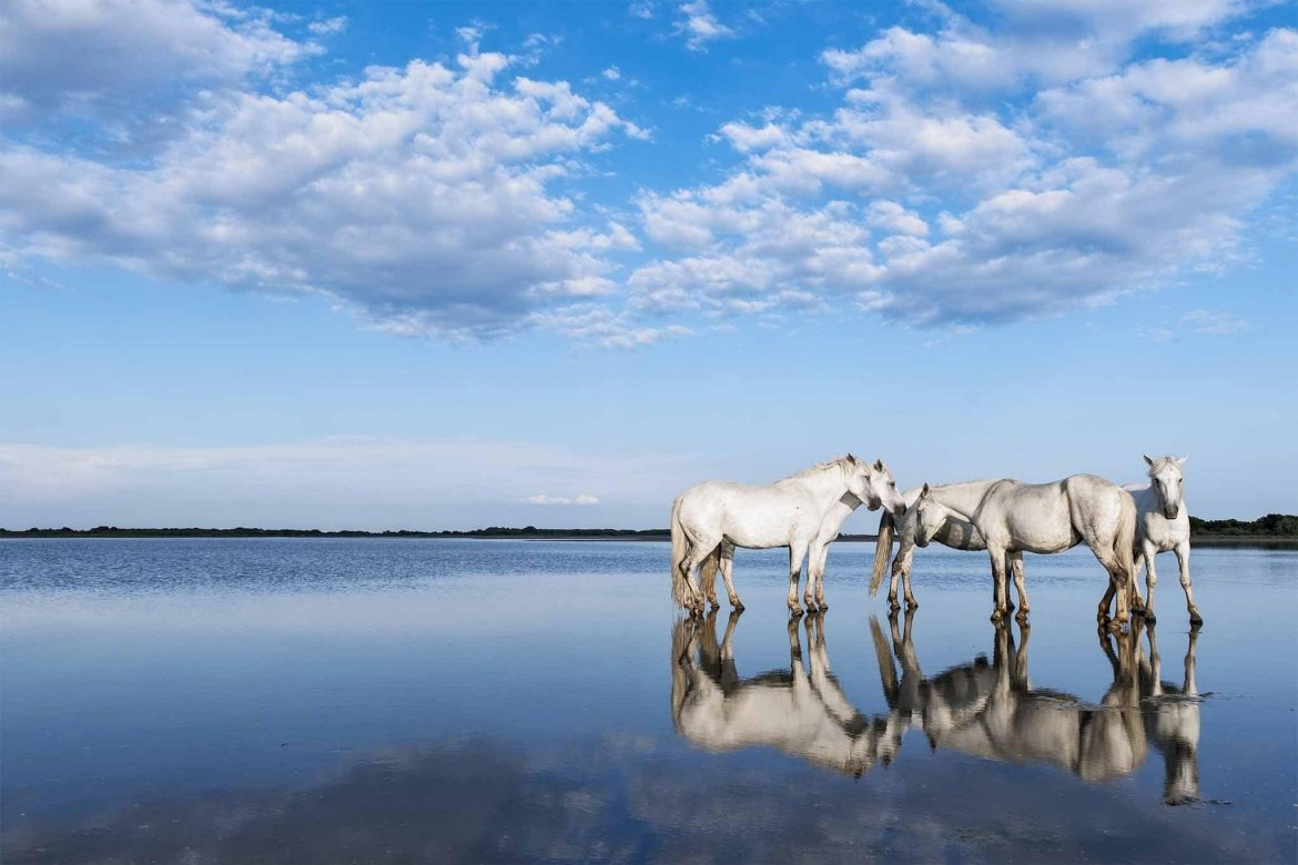 Reflected In The Water, A Group Of The White Horses Of The Camargue   Image Captured During A White Horses Of The Camargue Photography Holiday