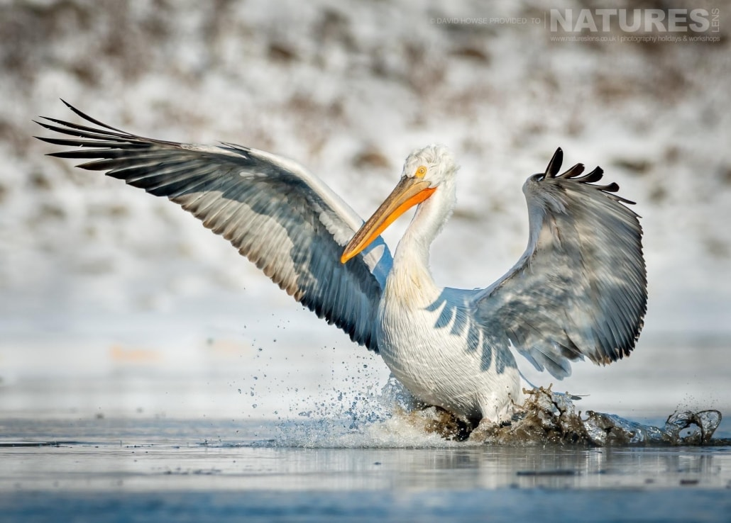 A Dalmatian Pelican lands in an icy stretch of water near Lake Kerkini photographed on the NaturesLens Dalmatian Pelicans Photography Holiday