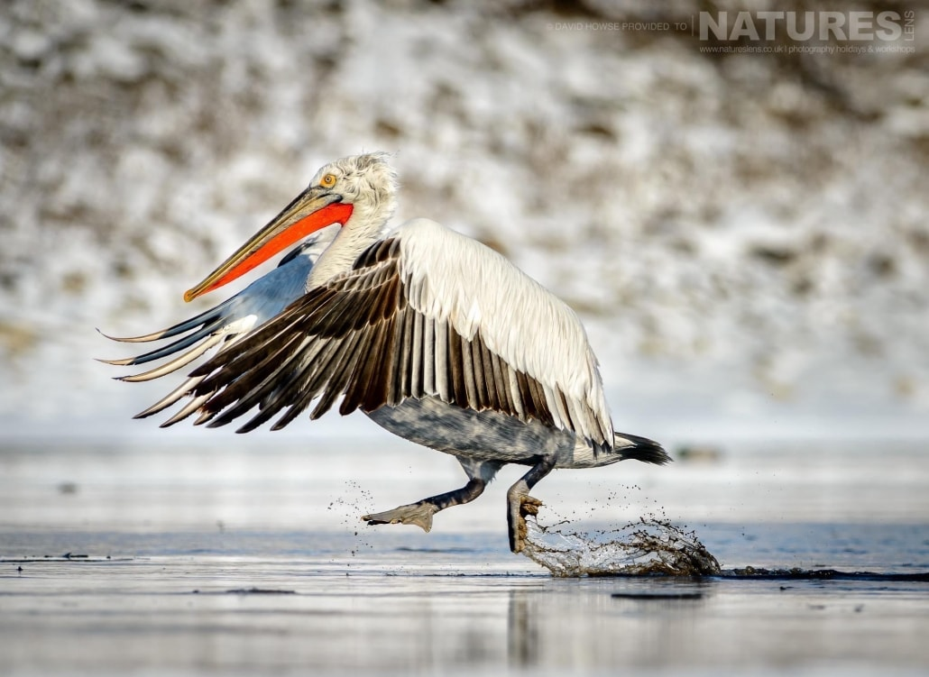 A Dalmatian Pelican lands on an icy stretch of water near Lake Kerkini photographed on the NaturesLens Dalmatian Pelicans Photography Holiday