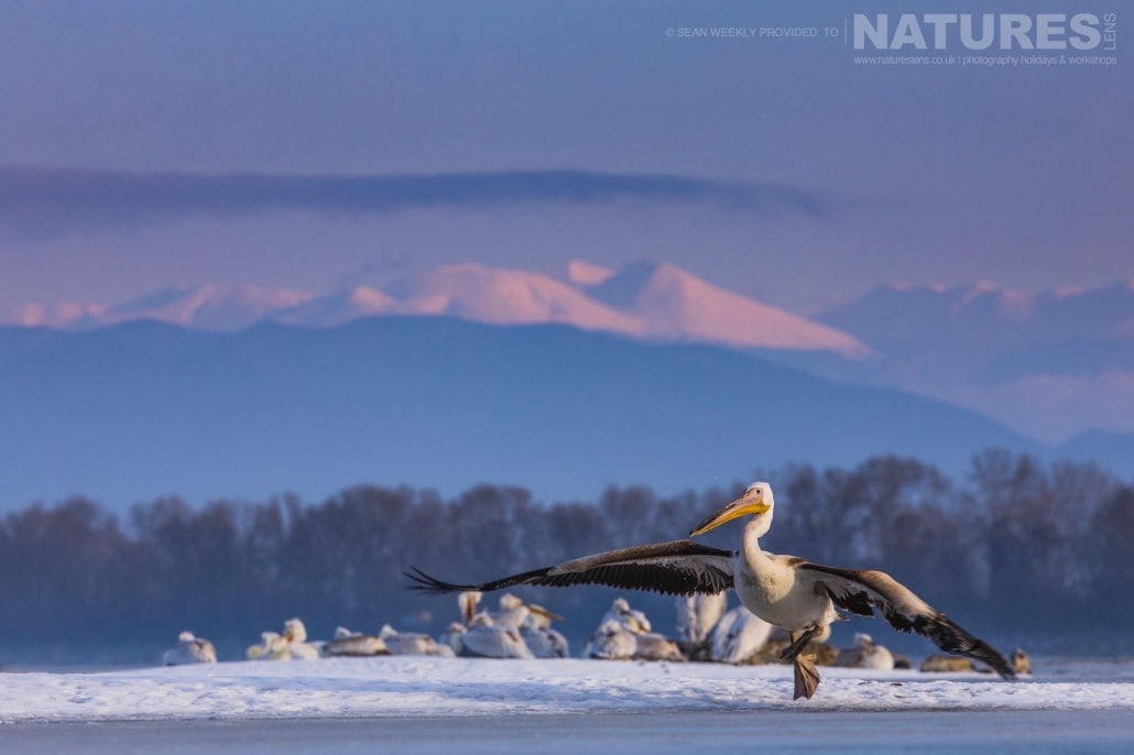 A Dalmatian Pelican lands on the frozen Lake Kerkini with the snow clad mountains in the background photographed on the NaturesLens Dalmatian Pelicans Photography Holiday