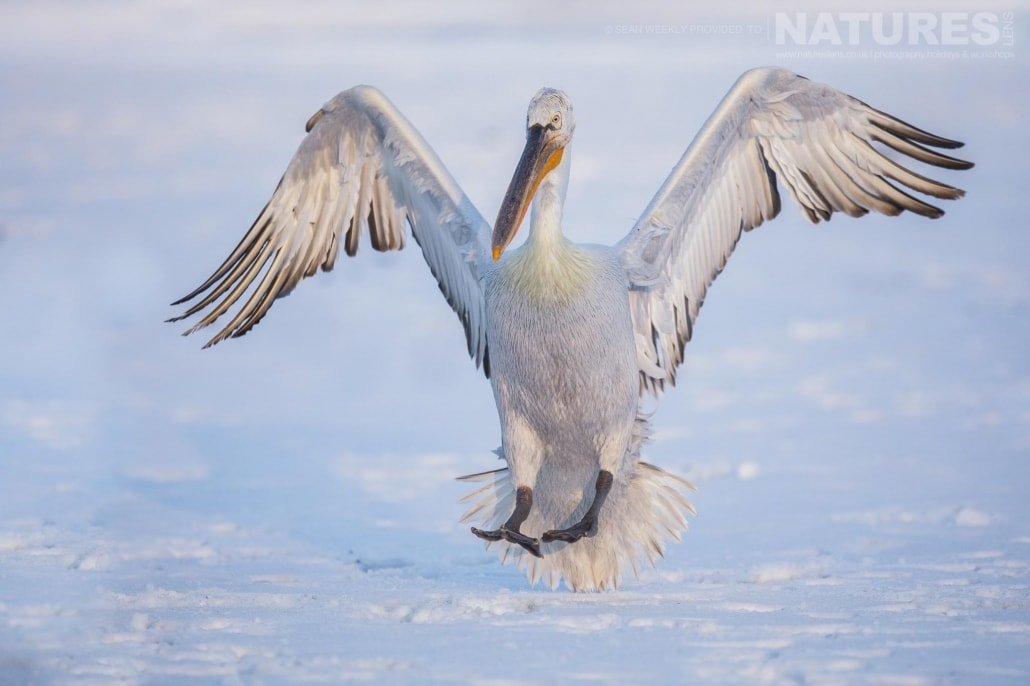 A Dalmatian Pelican lands on the ice of a frozen Lake Kerkini photographed on the NaturesLens Dalmatian Pelicans Photography Holiday