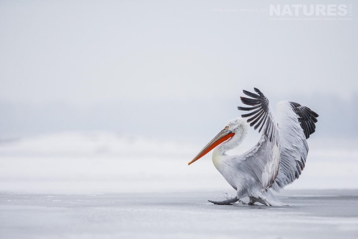 A Dalmatian Pelican lands with little drama on the ice of a frozen Lake Kerkini photographed on the NaturesLens Dalmatian Pelicans Photography Holiday