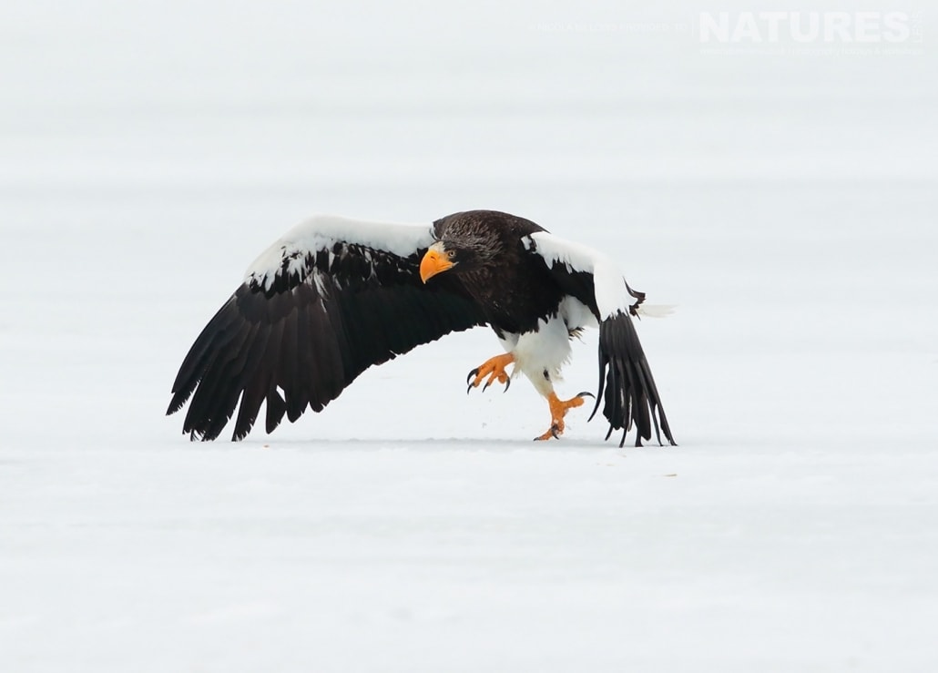 A Stellers Sea Eagle strides across the ice of one of the frozen lakes photographed by Nicola Billows during the NaturesLens Japanese Winter Wildlife Photography Holiday