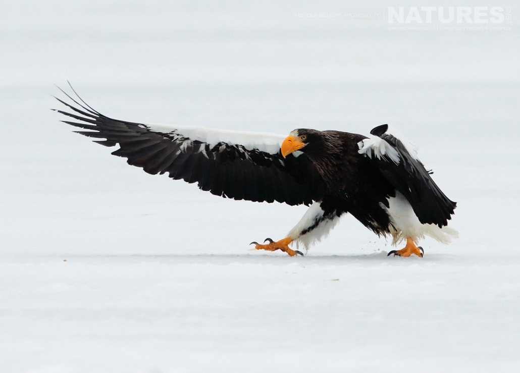 A Stellers Sea Eagle sweeps it's wings forward on the ice of one of the frozen lakes photographed by Nicola Billows during the NaturesLens Japanese Winter Wildlife Photography Holiday