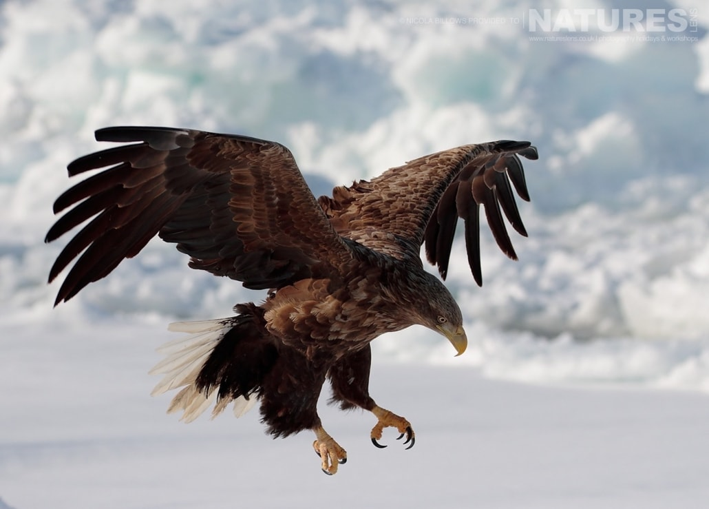 A White Tailed Sea Eagle lands on the Rausu pack ice photographed by Nicola Billows during the NaturesLens Japanese Winter Wildlife Photography Holiday