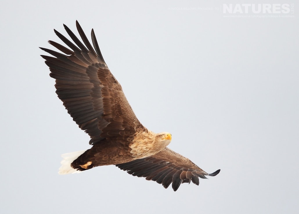 A White Tailed Sea Eagle soars through the air above one of the feeding sites photographed by Nicola Billows during the NaturesLens Japanese Winter Wildlife Photography Holiday
