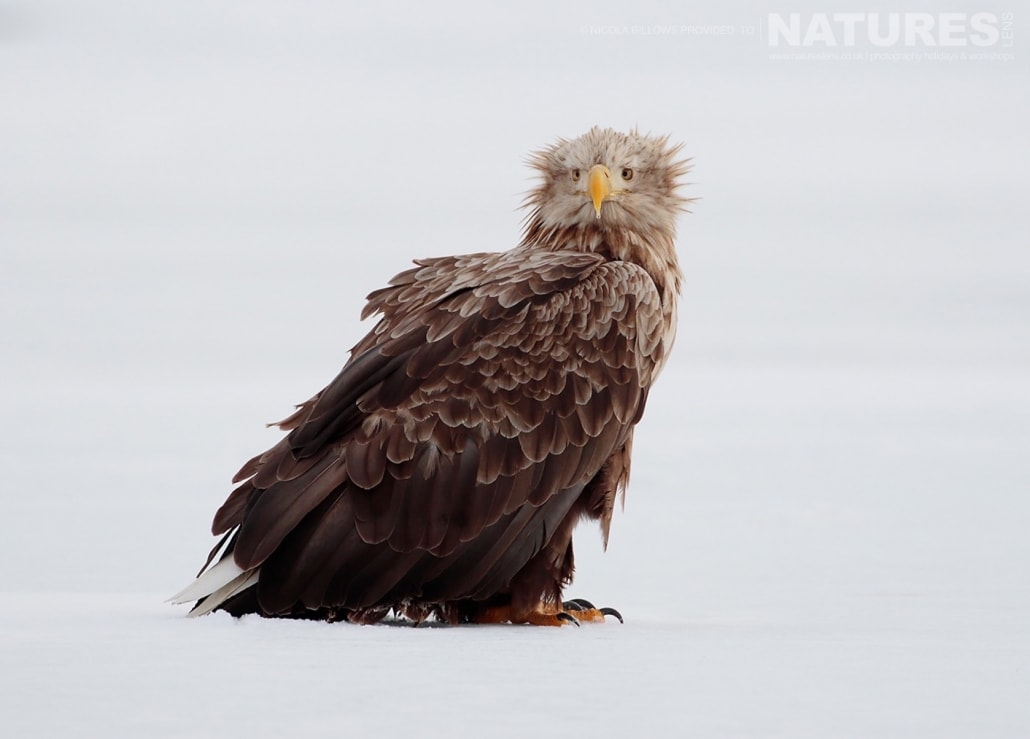A White Tailed Sea Eagle stood on the ice of one of the frozen lakes photographed by Nicola Billows during the NaturesLens Japanese Winter Wildlife Photography Holiday
