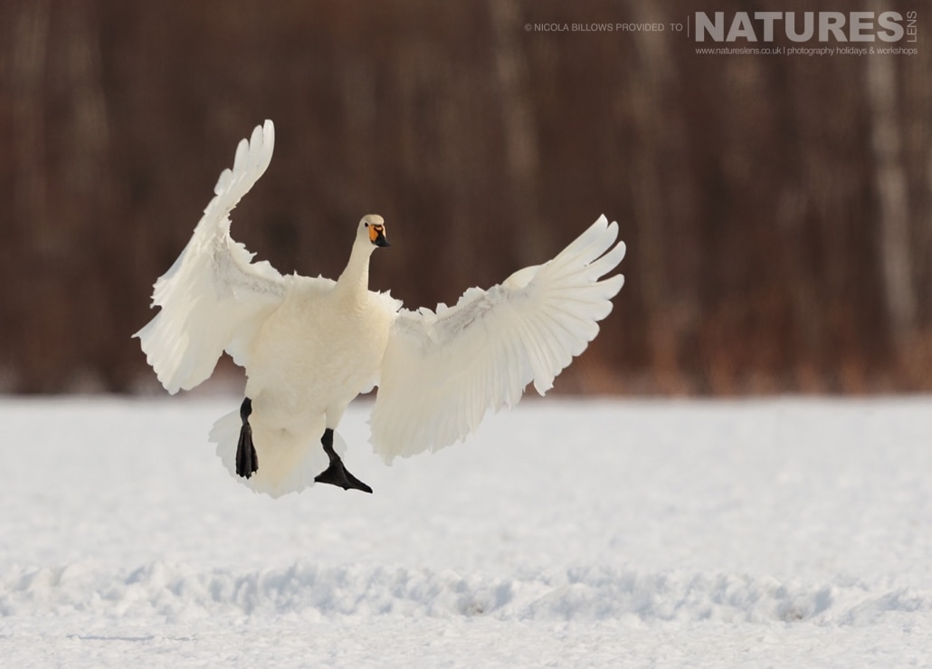 A Whooper Swan comes in to land on the snowy landscape of Hokkaido photographed by Nicola Billows during the NaturesLens Japanese Winter Wildlife Photography Holiday