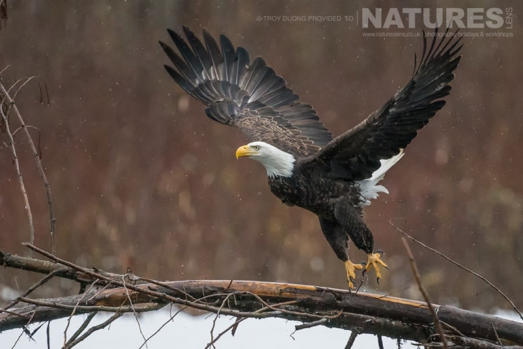 A bald eagle flies over a river in the valleys of the Pacific Northwest