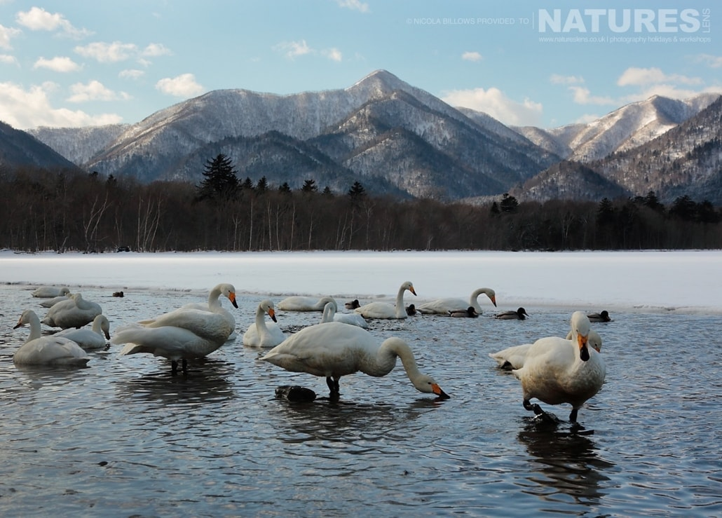 A bevy of whooper swans swimming in one of the thermal lakes found on Hokkaido photographed by Nicola Billows during the NaturesLens Japanese Winter Wildlife Photography Holiday