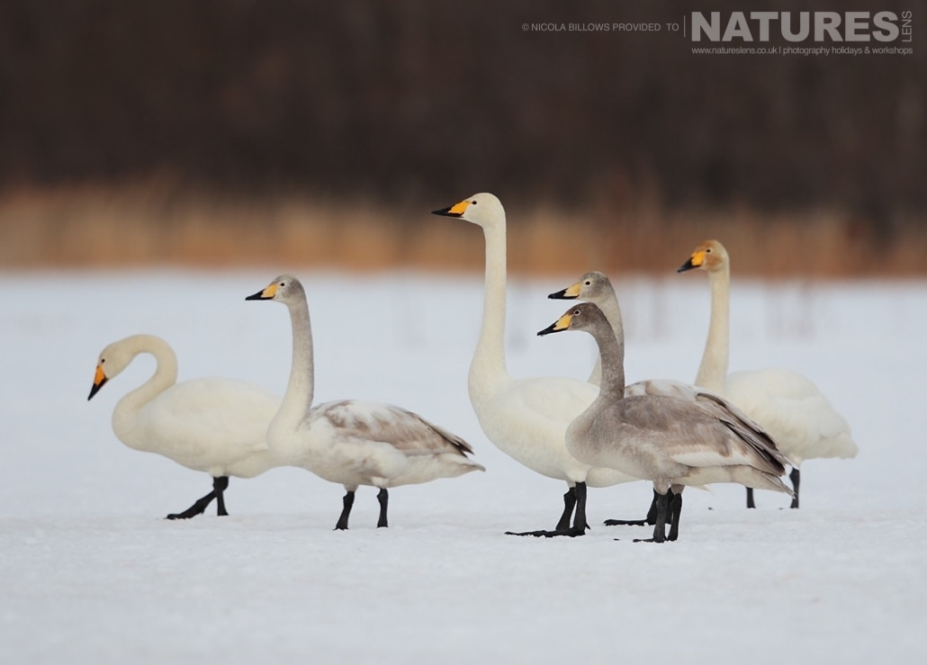A bevy of whooper swans wander across the snowy landscape of Hokkaido photographed by Nicola Billows during the NaturesLens Japanese Winter Wildlife Photography Holiday