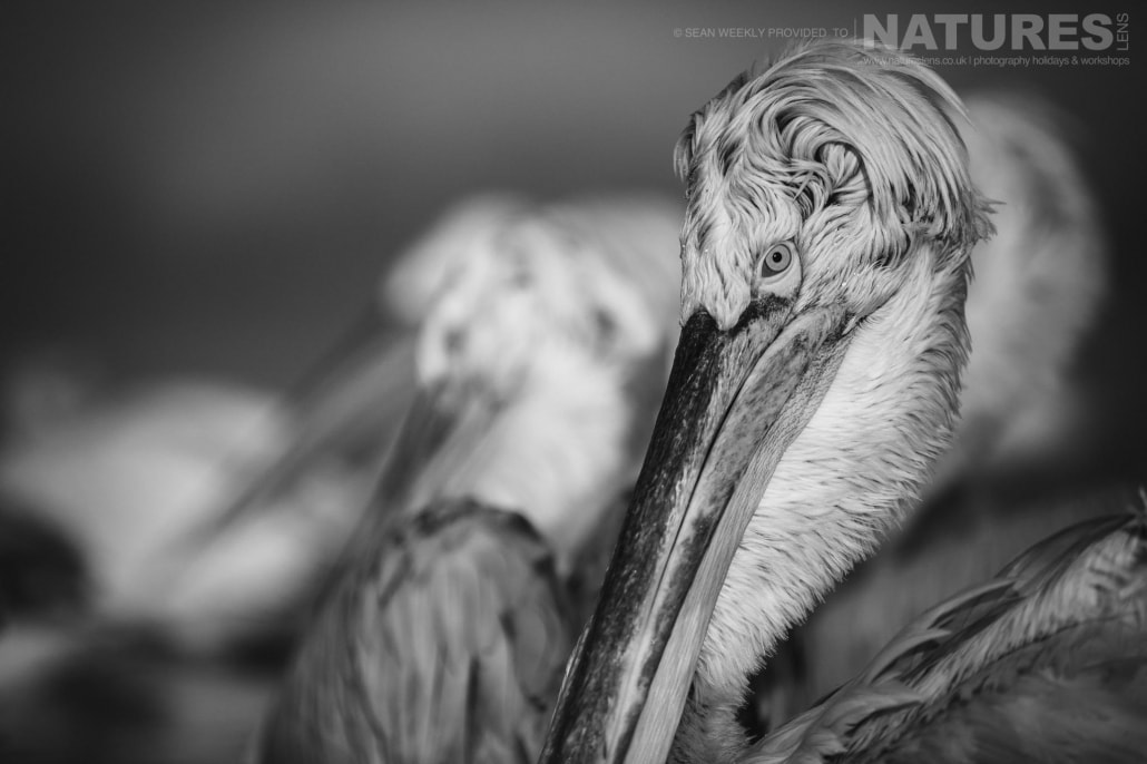 A black & white portrait of one of the Dalmatian Pelicans photographed on the NaturesLens Dalmatian Pelicans Photography Holiday