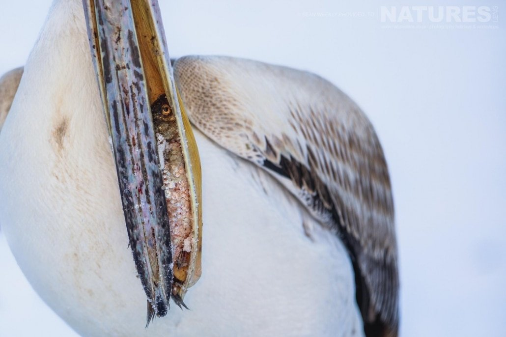 A closeup of one of the Dalmatian Pelicans with a fish in it's beak photographed on the NaturesLens Dalmatian Pelicans Photography Holiday