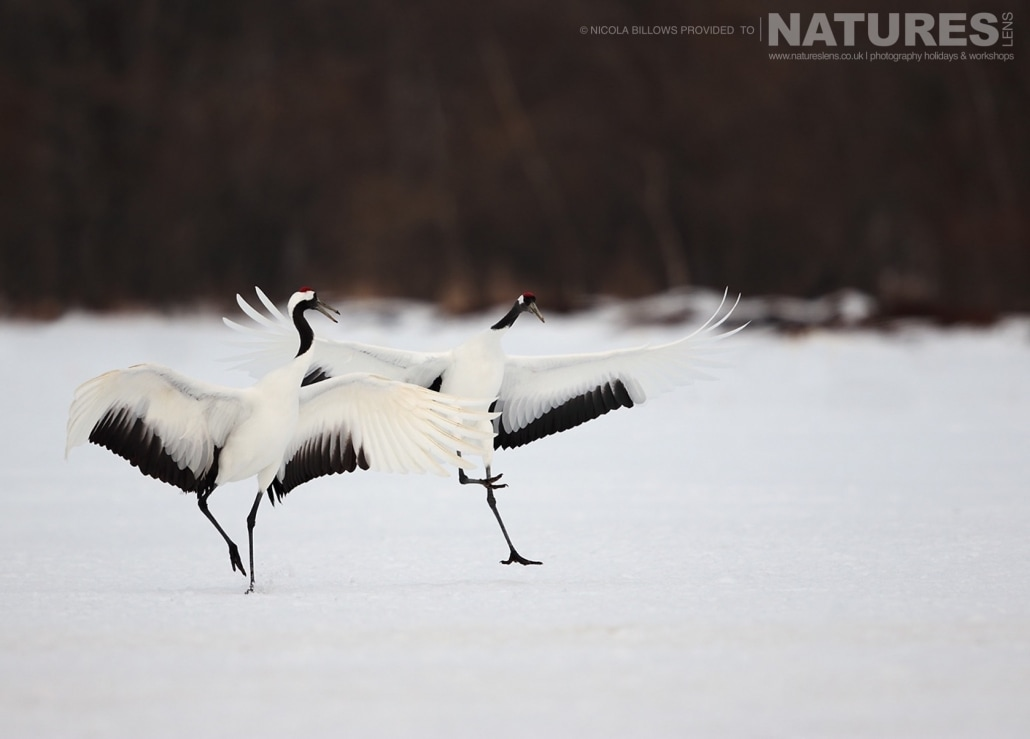 A dancing pair of red crowned cranes perform their courtship on the snowy landscape of Hokkaido photographed by Nicola Billows during the NaturesLens Japanese Winter Wildlife Photography Holiday
