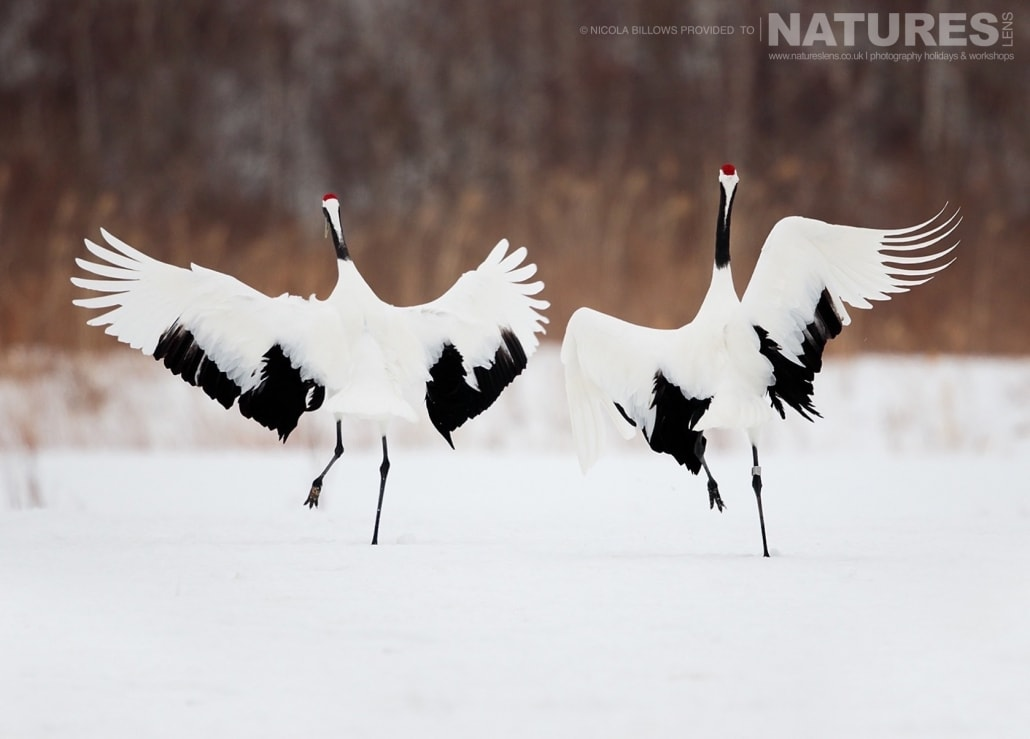 A duo of red crowned cranes perform their dance on the snowy landscape of Hokkaido photographed by Nicola Billows during the NaturesLens Japanese Winter Wildlife Photography Holiday