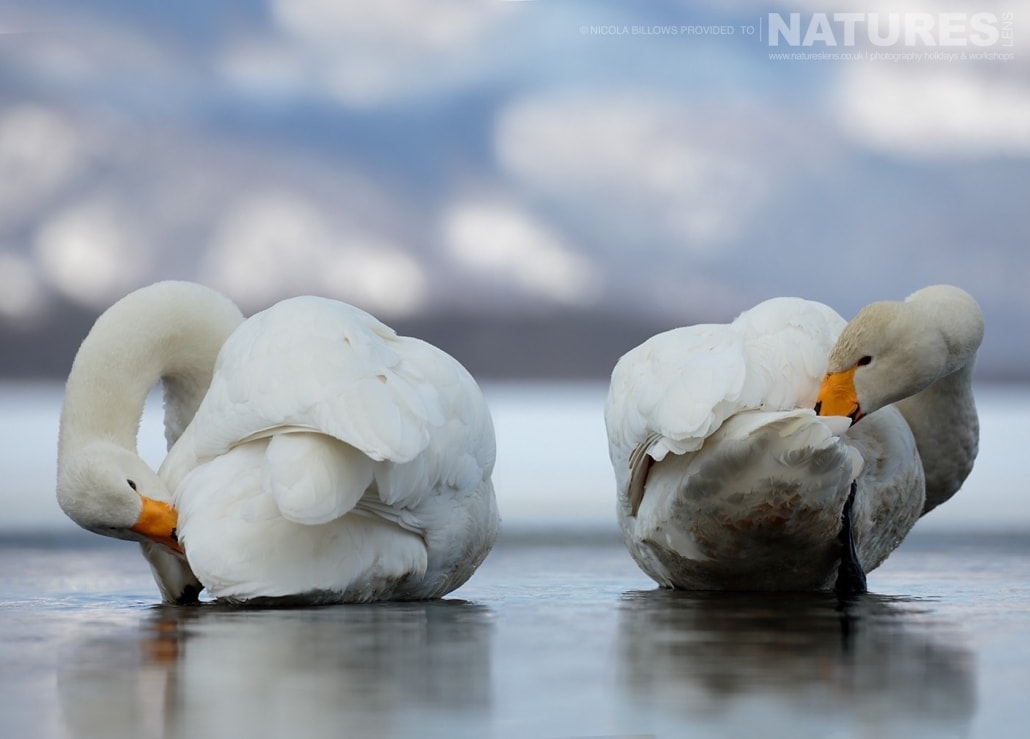 A duo of whooper swans clean themselves in the thawed area of one of the Caldera Lakes of Hokkaido photographed by Nicola Billows during the NaturesLens Japanese Winter Wildlife Photography Holiday