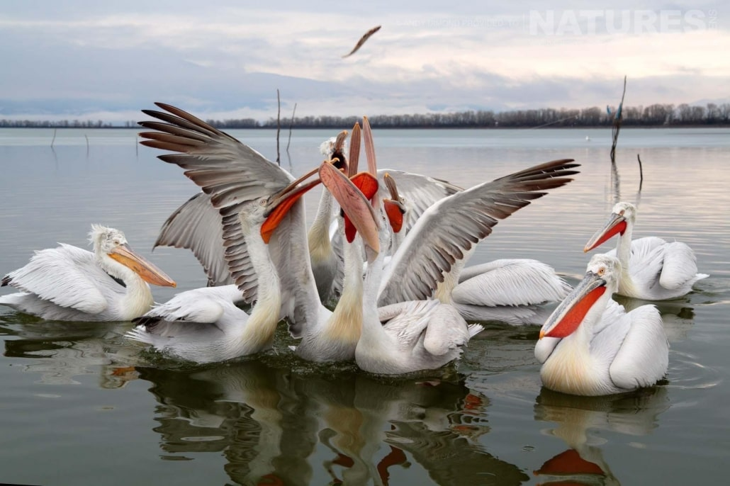 A group of Dalmatian Pelicans jostle to capture a thrown fish photographed on the NaturesLens Dalmatian Pelicans Photography Holiday