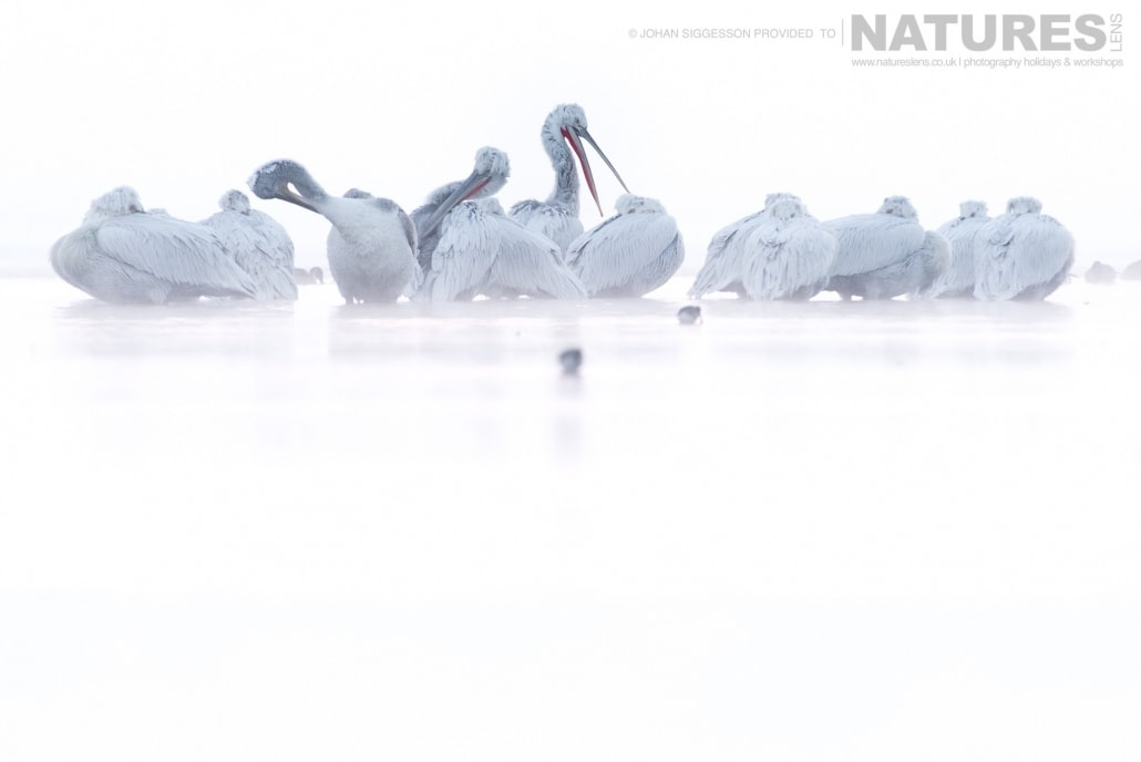 A group of Dalmatian Pelicans rise from their slumber on a snowy bank on Lake Kerkini photographed on the NaturesLens Dalmatian Pelicans Photography Holiday