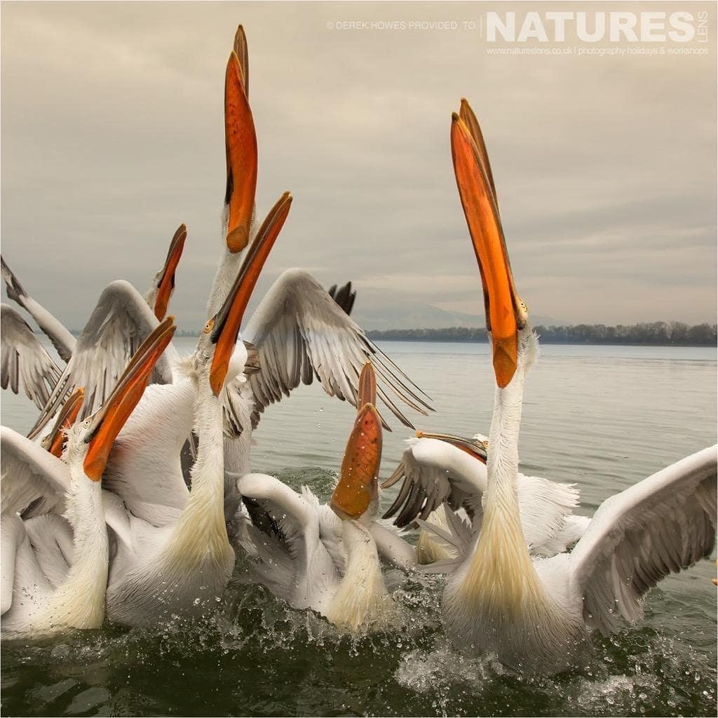 A group of pelicans move as one to attempt to catch a fish photographed during the NaturesLens Dalmatian Pelican Photography Holiday