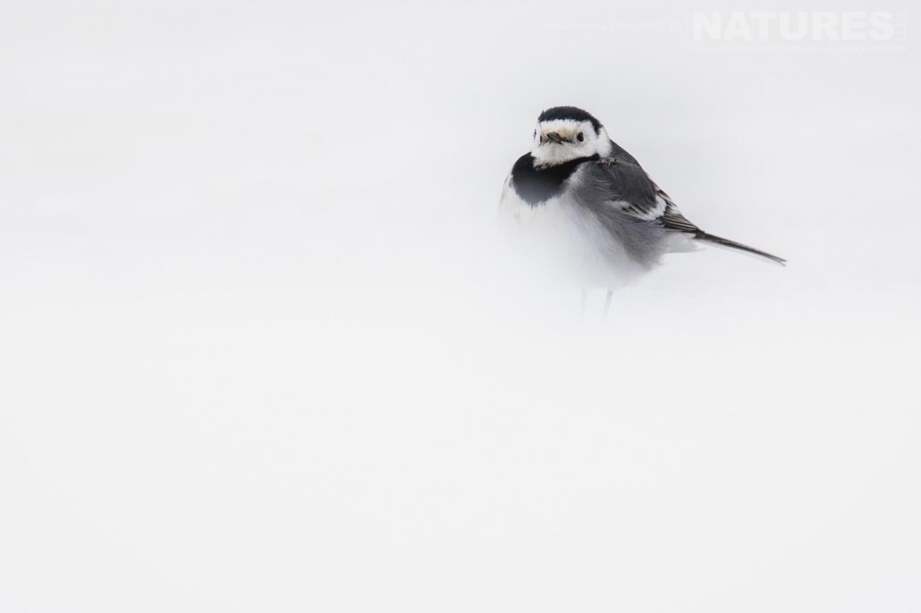 A high key pied wagtail in the snowy environs of Lake Kerkini photographed on the NaturesLens Dalmatian Pelicans Photography Holiday