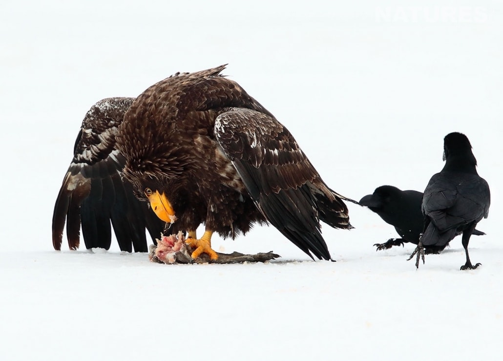 A juvenile Stellers Sea Eagle eats fish whilst being pestered by a pair of crows photographed by Nicola Billows during the NaturesLens Japanese Winter Wildlife Photography Holiday