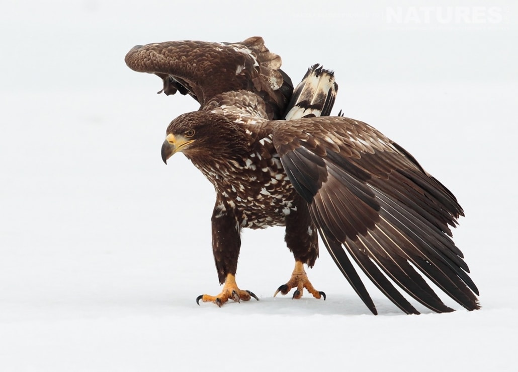 A juvenile White Tailed Sea Eagle having just landed on the ice of one of the frozen lakes photographed by Nicola Billows during the NaturesLens Japanese Winter Wildlife Photography Holiday