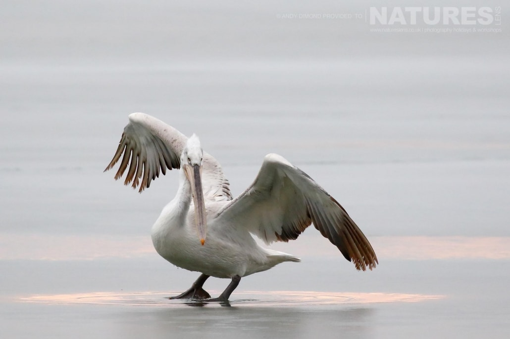 A juvenile struggles for balance having just landed on a patch of ice photographed on the NaturesLens Dalmatian Pelicans Photography Holiday