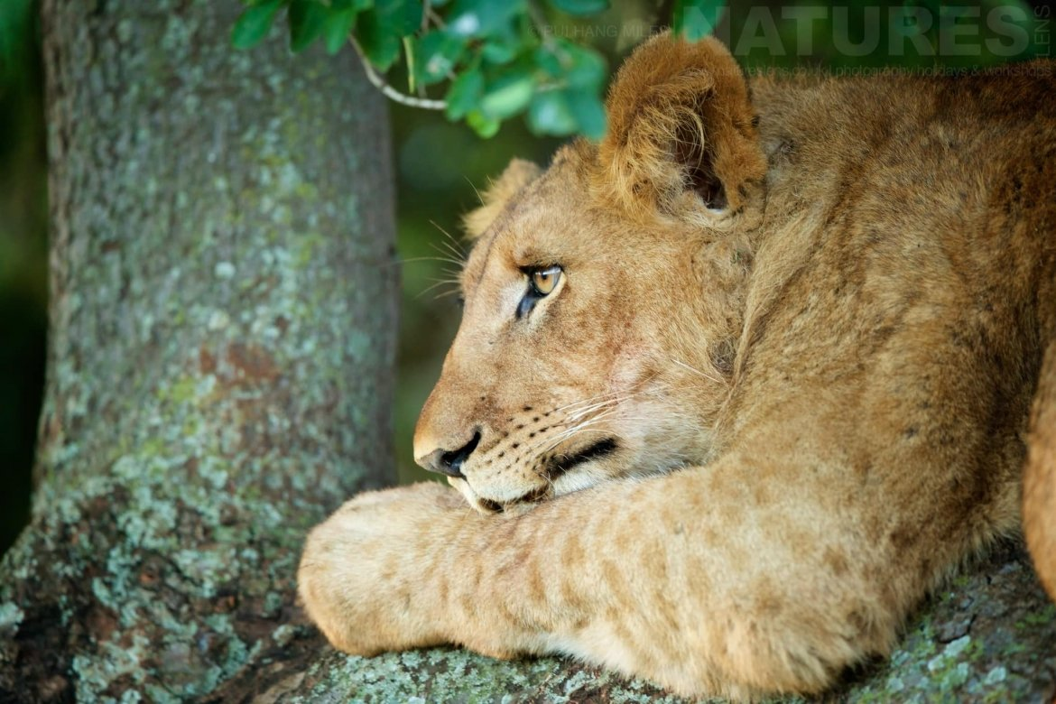 A Lion Cub Resting In A Tree Photographed During The NaturesLens African Wildlife Of Zimanga Photography Holiday