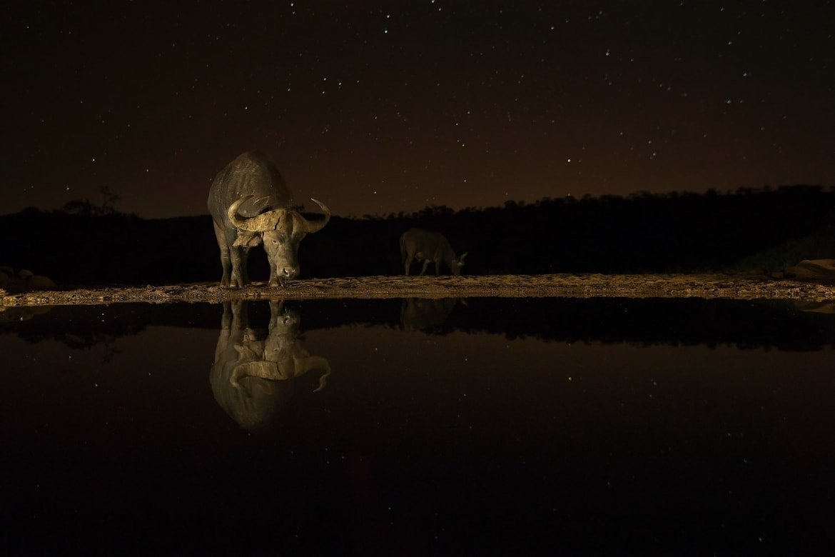 A Lone Cape Buffalo Under A Starry Sky As Captured During The NaturesLens African Wildlife Of Zimanga Photography Holiday