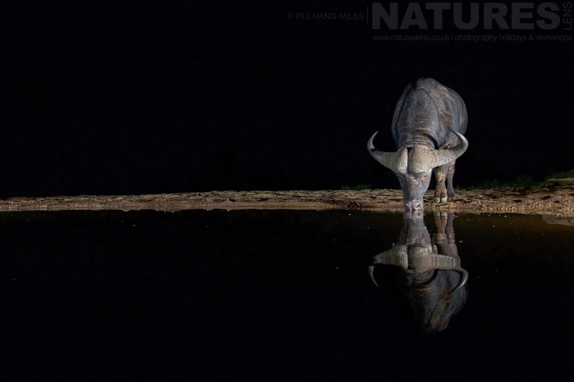 A Lone Cape Buffalo Drinking At Night Photographed During The NaturesLens African Wildlife Of Zimanga Photography Tour