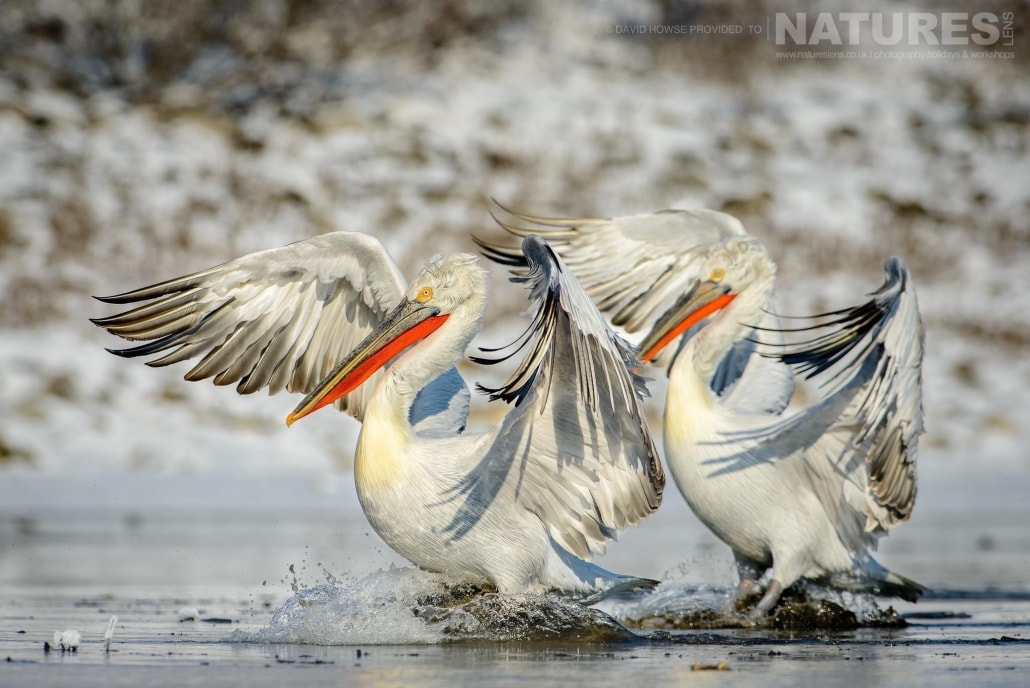 A pair of Dalmatian Pelicans on an icy stretch of water near Lake Kerkini photographed on the NaturesLens Dalmatian Pelicans Photography Holiday